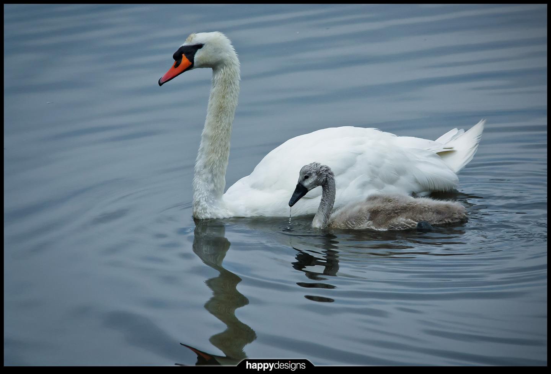 20110705 - swan love